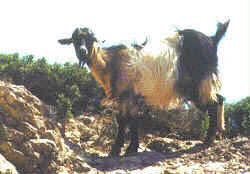 Chios goat