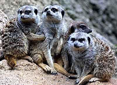 Meerkats at the Melbourne Zoo