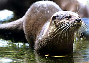 Otters at the Melbourne Zoo