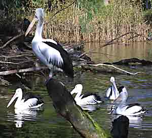 Waterbirds at the Melbourne Zoo